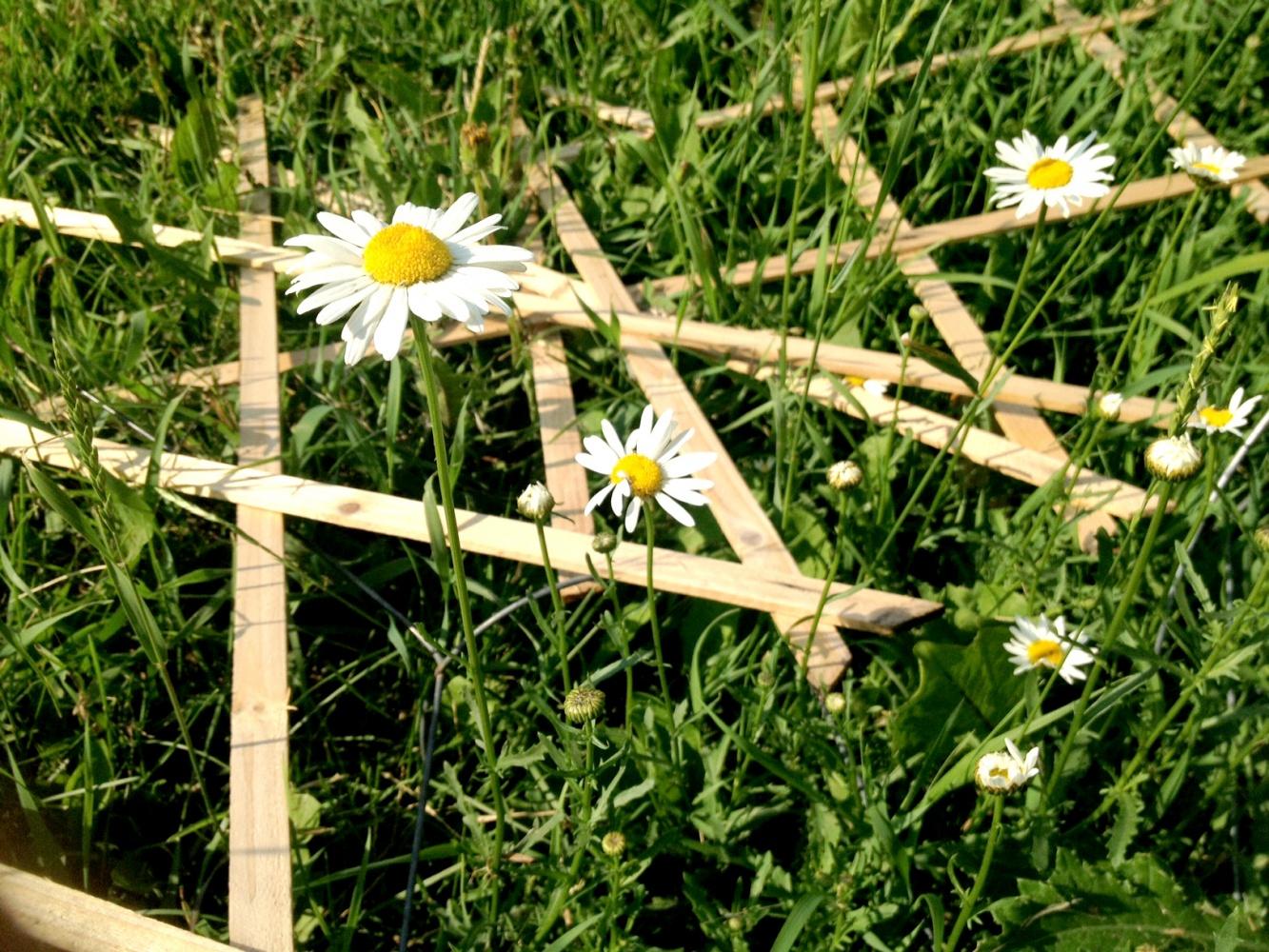 july-4-daisies