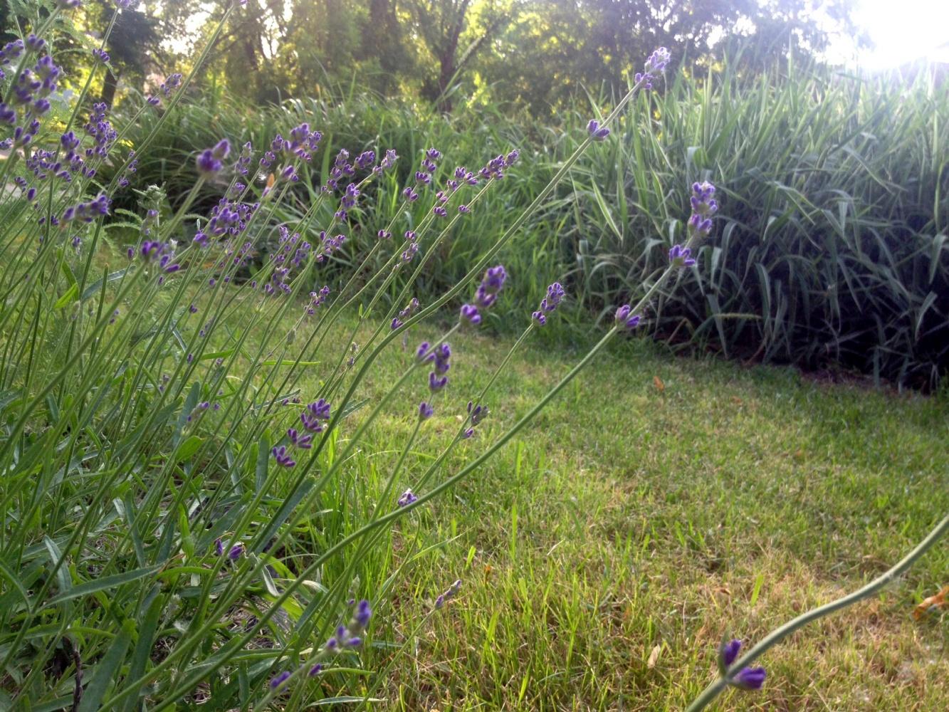 july-4-lavendar