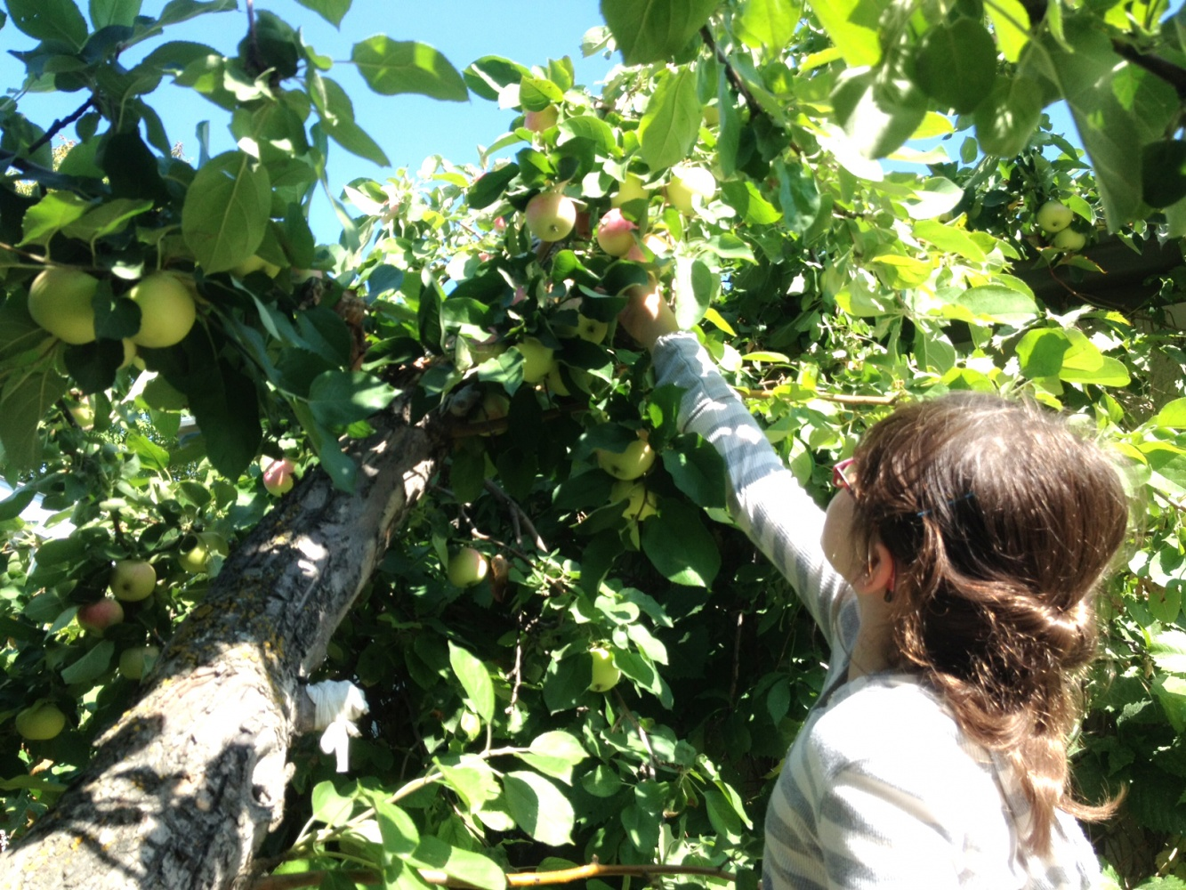 breann harvesting apples