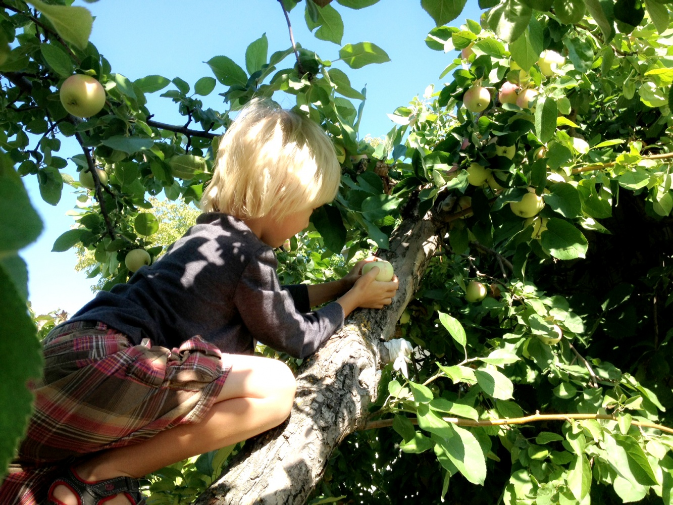 cohen harvesting apples
