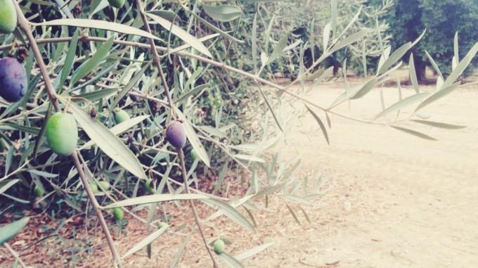 tiny peasant olive plantation 5