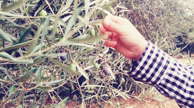 tiny peasant olive plantation 6