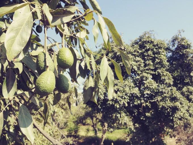 tp fairview avocado
