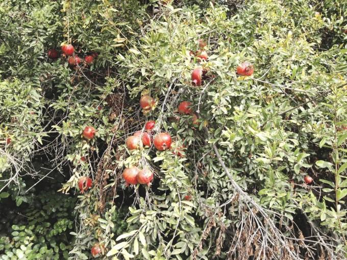 tp fairview pommegranate