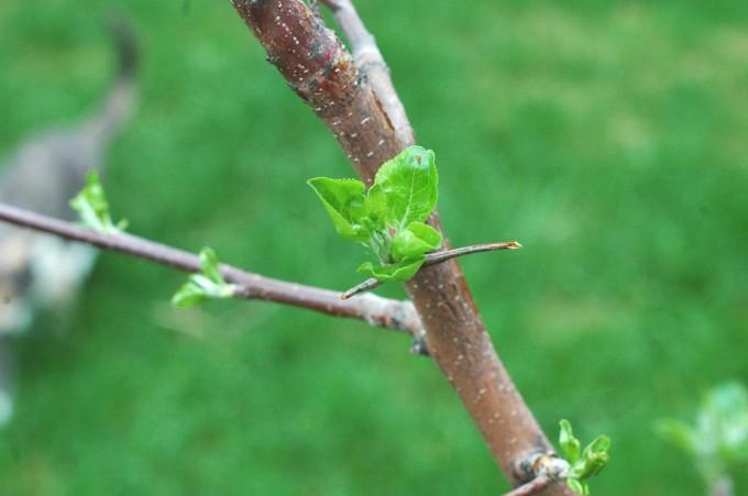 tiny peasant apple bud
