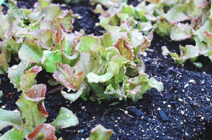 tiny peasant early lettuce