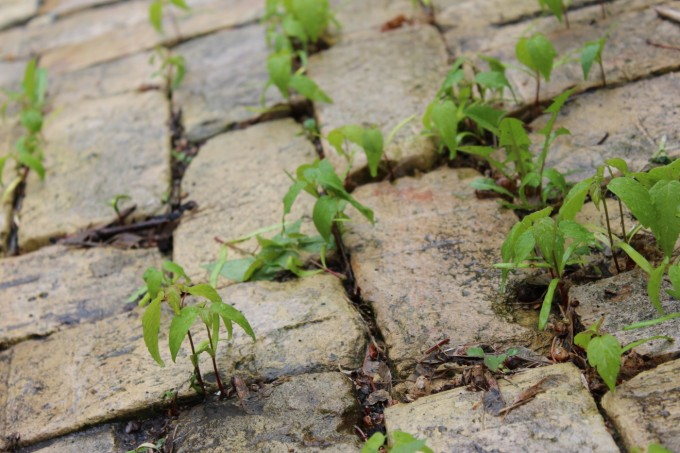 Little maple weeds. Will have to remember to spread corn gluten in between the bricks next spring in the hopes that it stops the seeds from germinating.  Imagine all that time not spent weeding!