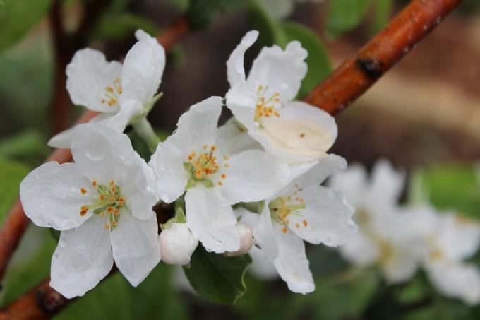 Prairie Magic apple blossoms