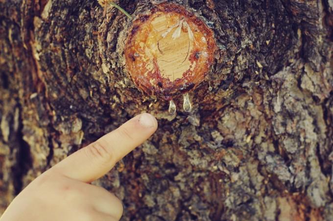 TP cut branch sap