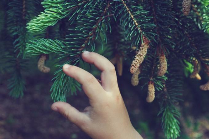 TP harvesting spruce tips