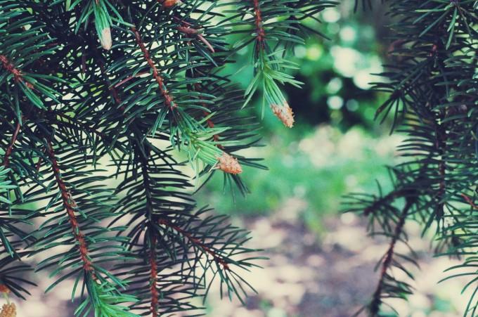 TP spruce tip caps