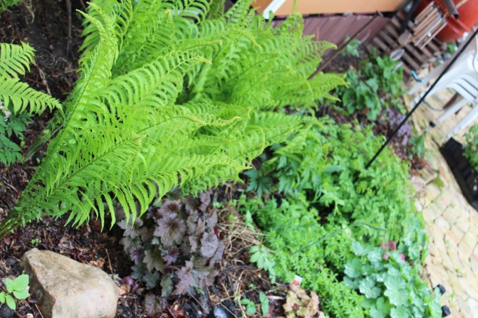 The ferns have shot up like crazy over the past 10 days or so.