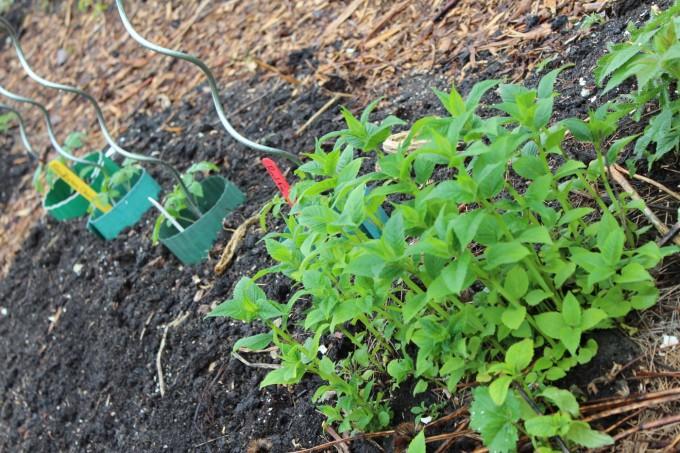Wild bergamot and tomatoes.