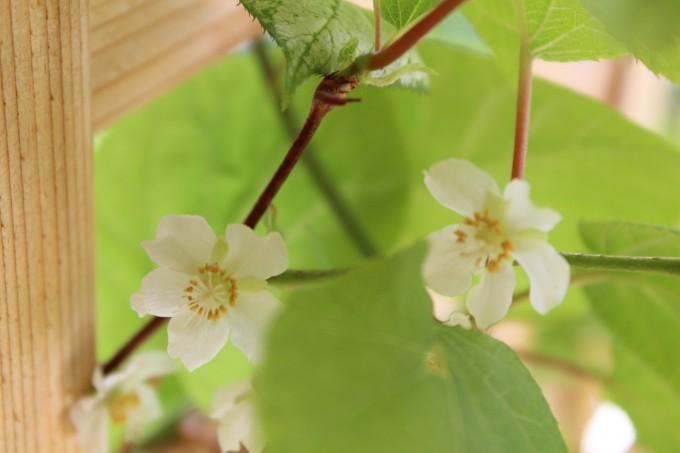 kiwi blossoms #4