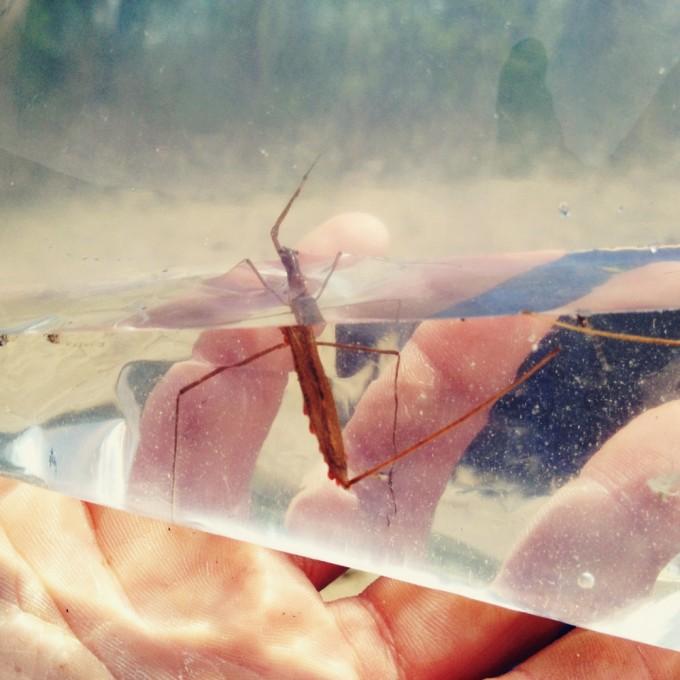 stick bug study