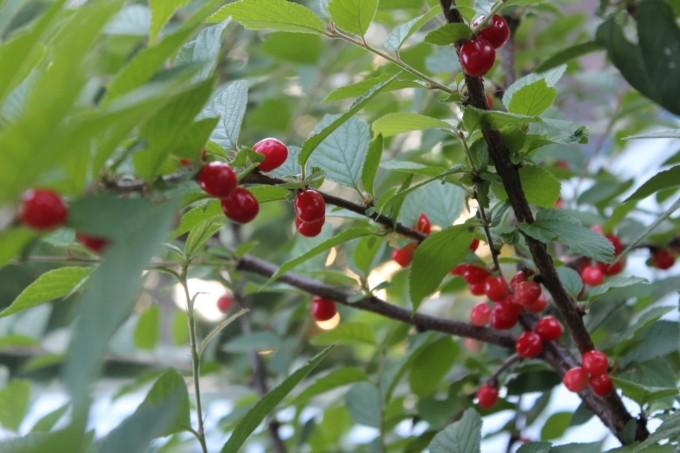 ripe nanking cherries!
