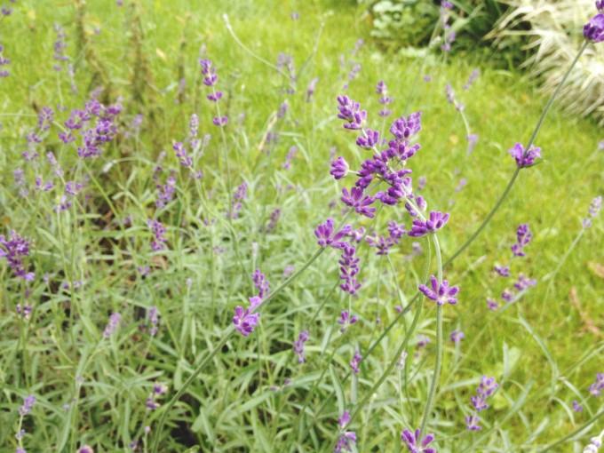 TP lovely lavendar