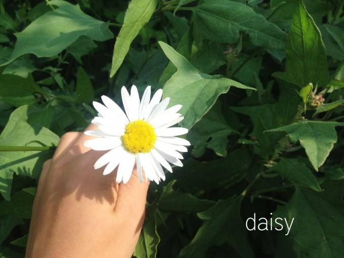 edibles hunt daisy