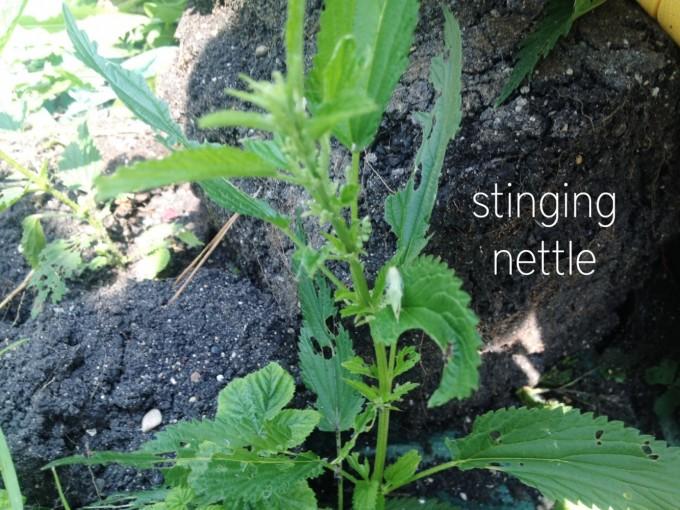edibles hunt nettle