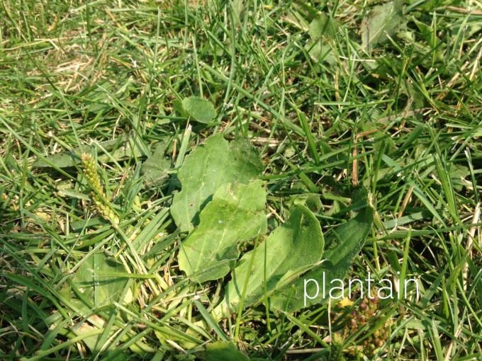 edibles hunt plantain