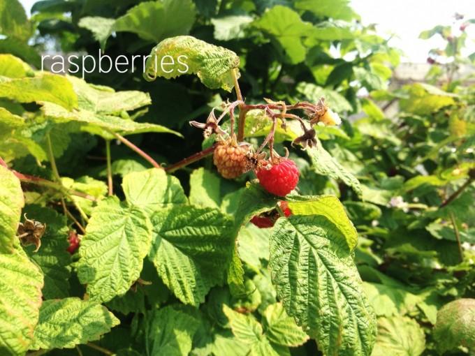 edibles raspberries copy