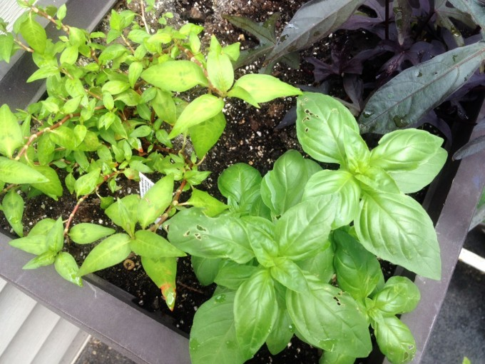 tp gtt doorstep herbs