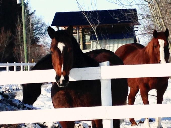 TP horses by cohen