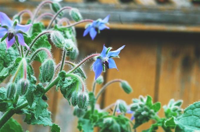 TP july garden borage