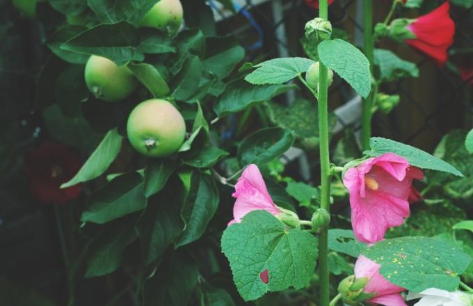 TP july garden hollyhocks apples