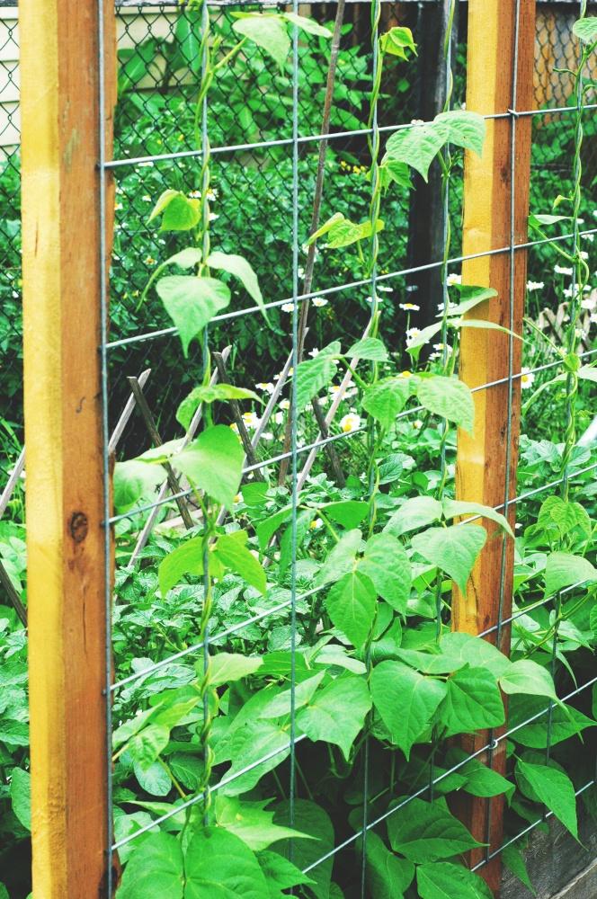 TP july garden new bean arch